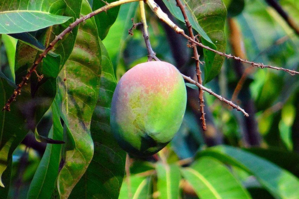 Mangifera indica, l'albero del mango