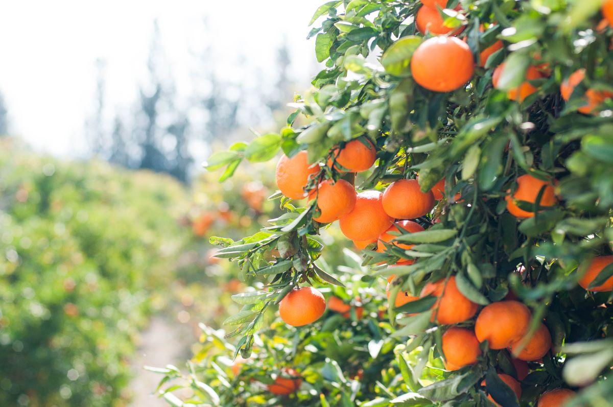 Proprietà nutritive delle arance