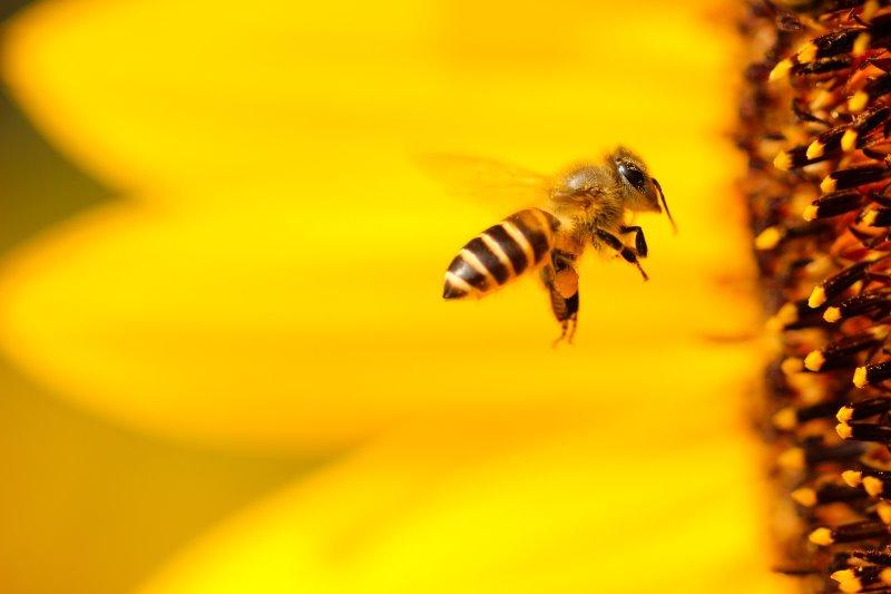 Ape che raccoglie il polline