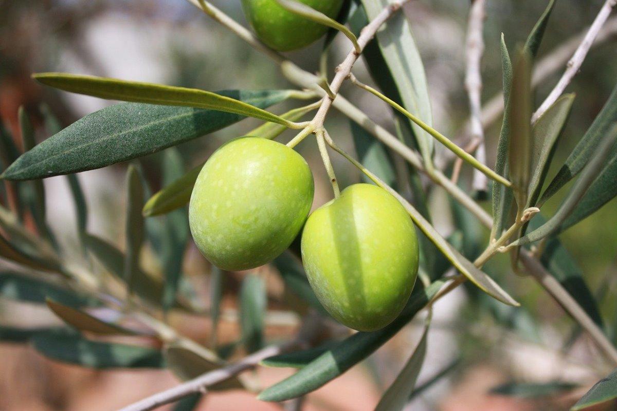 Olive: proprietà, benefici e controindicazioni