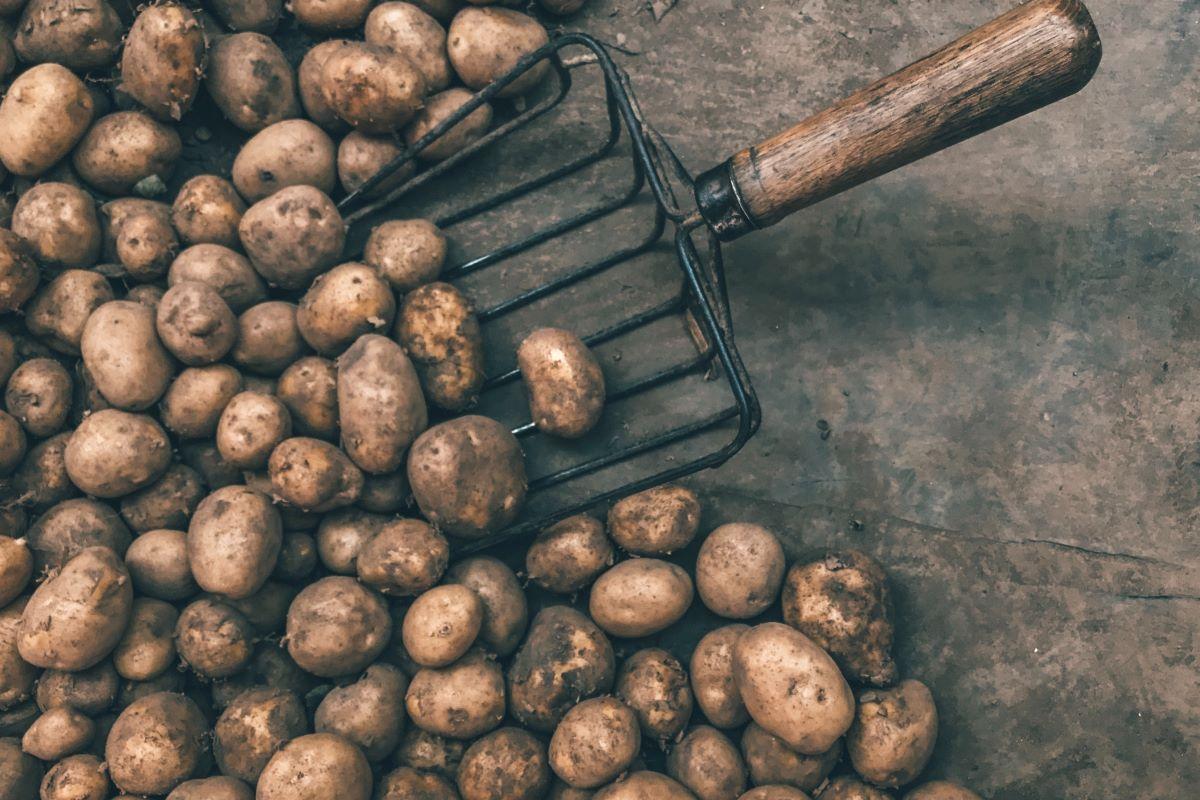 Come conservare le patate e non farle germogliare
