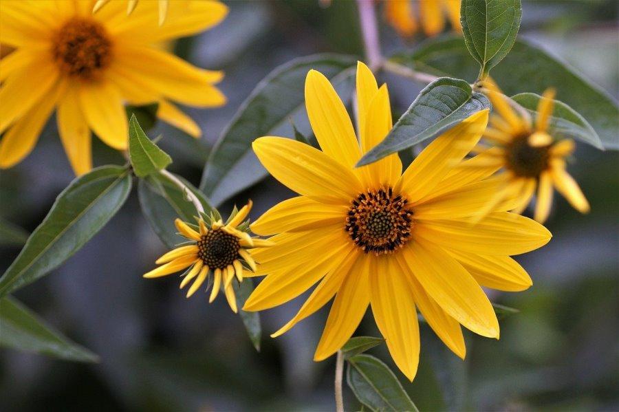 Fiore del topinambur