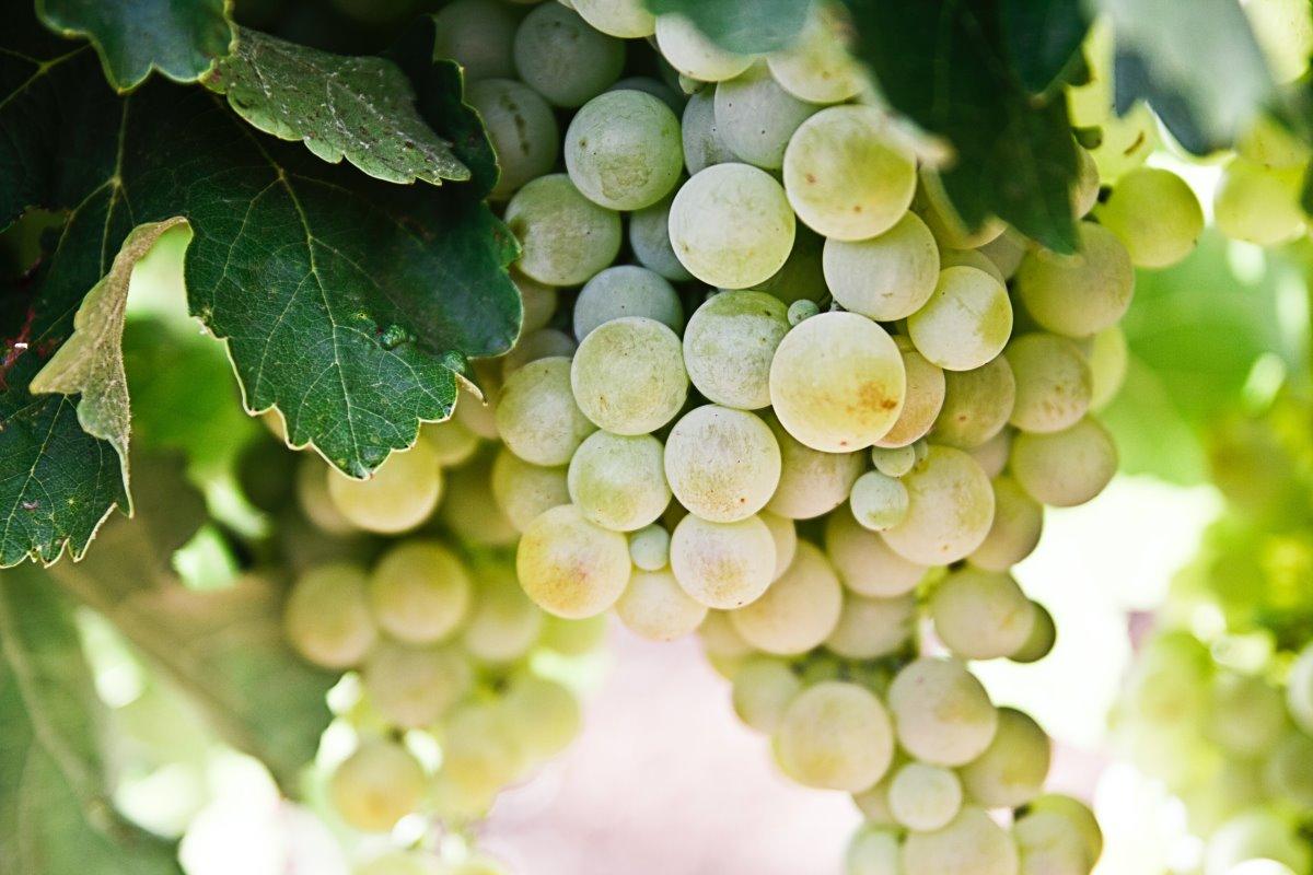 Uva senza semi: tutto sull'uva apirena