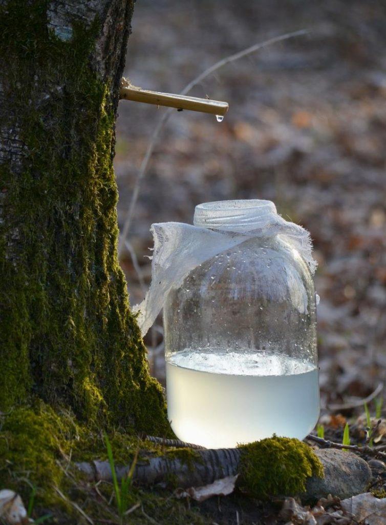 Estrazione della linfa di betulla