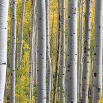 Linfa di betulla: proprietà, usi e controindicazioni
