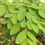 Moringa: proprietà, benefici e controindicazioni