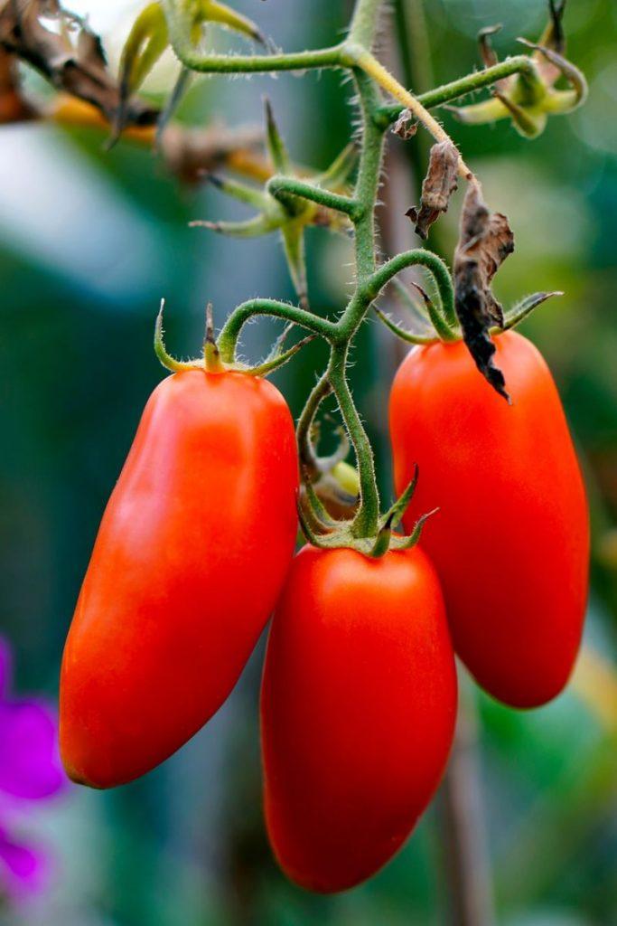 Pomodori da salsa e da conserve