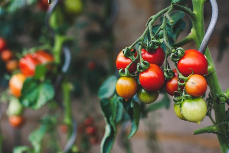Pomodoro, origini e diffusione