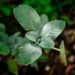Salvia: proprietà, benefici e controindicazioni