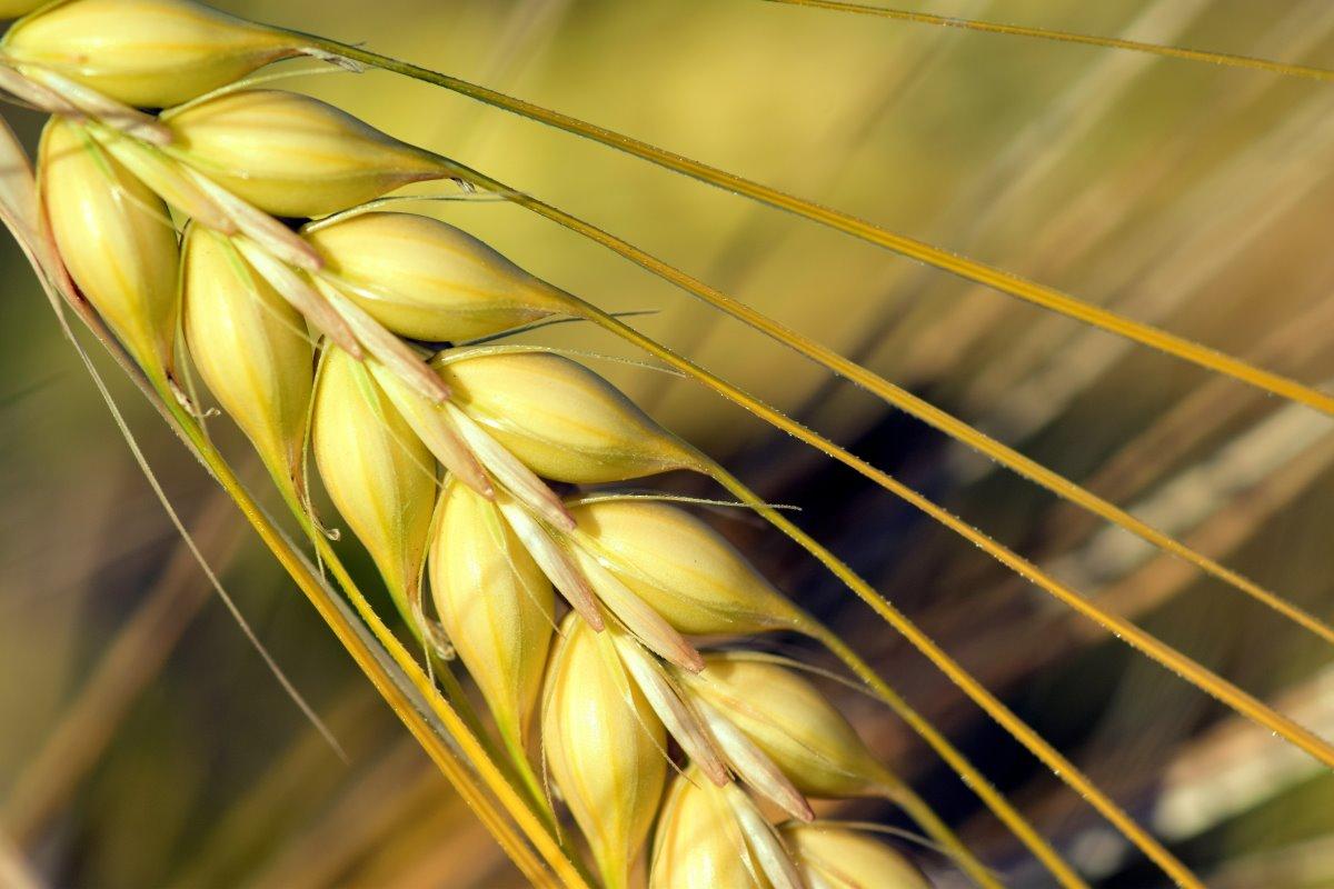 Orzo: proprietà, calorie, benefici e controindicazioni